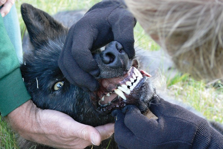Carter Niemeyer examines the teeth of an Idaho wolf.