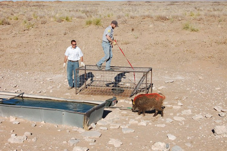 "Bureau of Land Management wildlife biologist Randy Howard, and USDA wildlife specialist Shannon ""Bubba"" Punnel, release a ""Judas"" pig after tagging its ear with a transmitter in southern New Mexico's sand dune country."