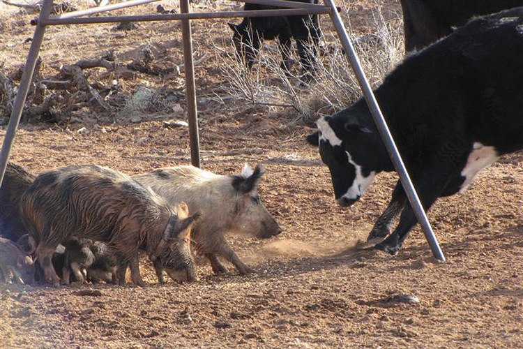 "In Quay County in the spring of 2010, biologist Justin Stevenson documented feral pigs interacting with cattle for the first time in New Mexico. He says they were ""close enough for nose-to-nose transmission"" of diseases like pseudorabies and swine brucellosis."