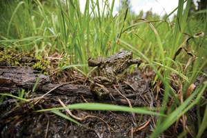 Toads on high: tracking and photographing boreal toads