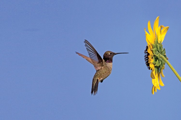 An adult male black-chinned hummingbird approaches a sunflower. The species is found throughout the intermountain West.