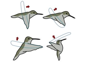 Incredible hummingbird facts