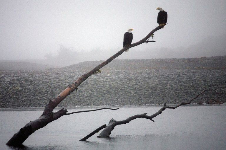 Bald eagles at the sediment-starved mouth of the Elwha River.