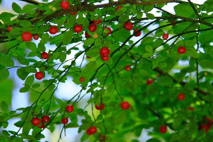 Red huckleberries ready for picking.