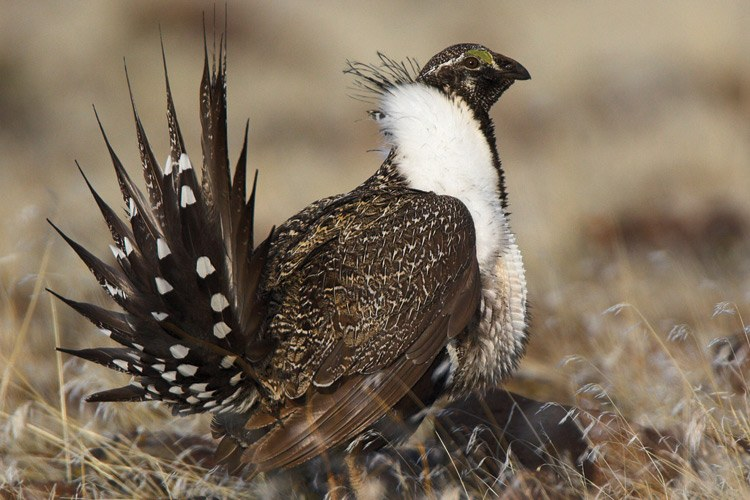 The greater sage grouse, a species that Advocates for the West tries to protect.