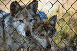 Behind the scenes in the lives of captive wolves