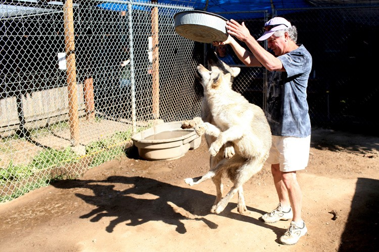 Young wolves at the Wolf People compound in Cocolalla, Idaho, excitedly jump for their food as Michael Marzio enters an enclosure.