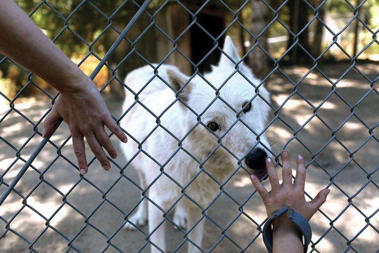 "Visitors greet a  captive wolf at Wolf People. Kent Weber of Mission: Wolf says that people often come away from such an encounter saying, ""That was the most amazing experience of my life."""