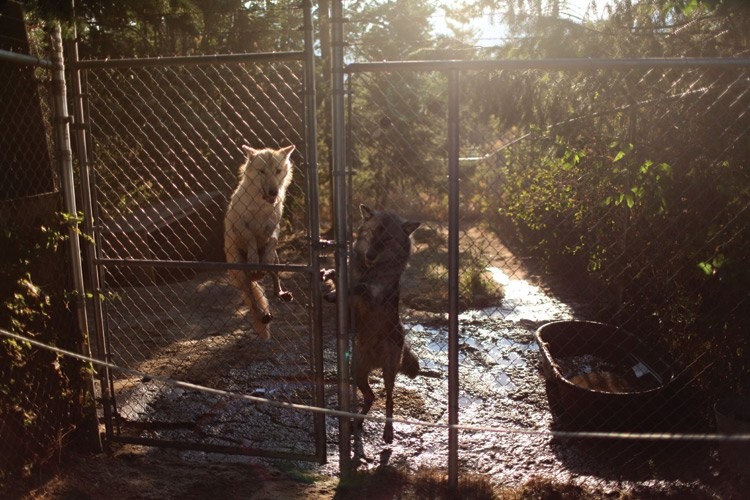 Two wolves jump at the gate to their enclosure at Wolf People in northern Idaho.