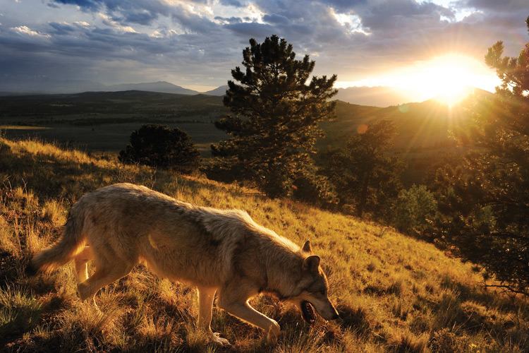 Behind the scenes in the lives of captive wolves — High Country News