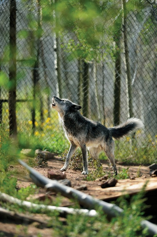 Orion, a wolf-dog, howls in his enclosure at Mission: Wolf.