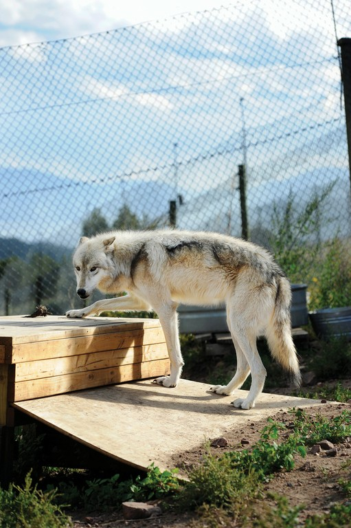 Illiamna, an Arctic gray wolf, in an enclosure at Mission: Wolf near Westcliffe, Colo., home to 37 wolves and wolf-dogs.