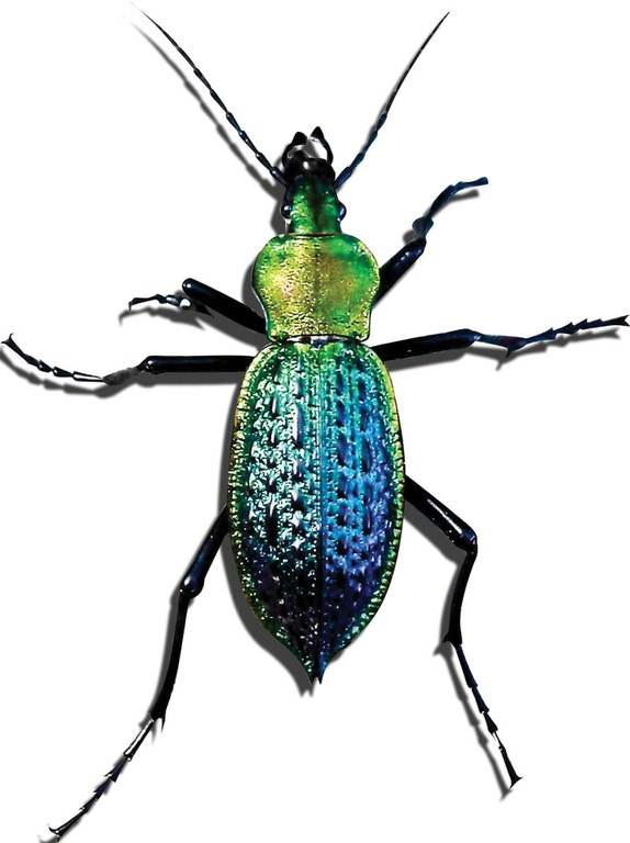 Carabus lafossei, a ground beetle from China.