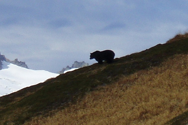 This photo, taken in October 2010, is the first confirmed grizzly sighting in the North Cascades in 15 years.