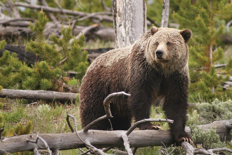 Grizzly sightings are fairly common in Yellowstone, where this bear was spotted.