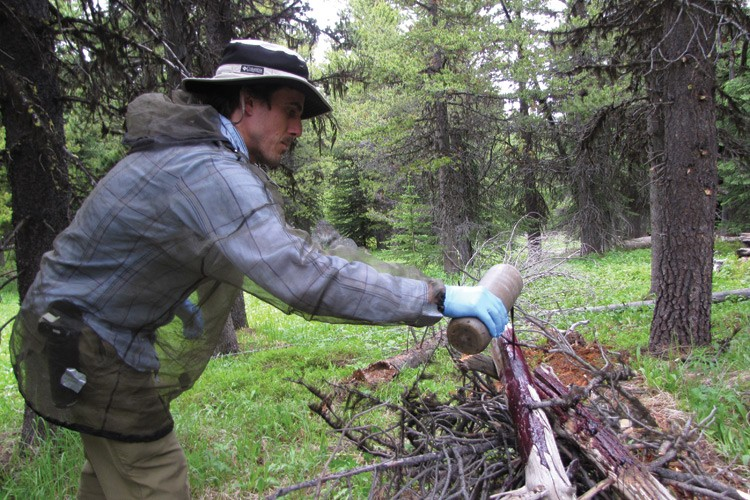 Forest Service technician Aja Woodrow pours the cattle blood and salmon carcass lure to attract carnivores to the hair snag corral. The lure is liquefied so it doesn't become a food source.