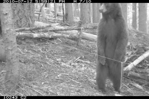How to snag a grizzly: Biologists search for carnivores in the North Cascades