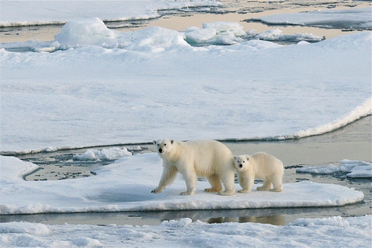 "The Bush administration listed the polar bear as a ""threatened"" species  in 2008, and last year, pressured by a lawsuit filed by environmental  groups, the Obama administration designated 120 million acres of critical habitat -- mostly sea ice. Regardless, climate change is shrinking the sea ice. Some environmentalists say this administration missed an opportunity to bring the discussion of climate change to the forefront when it declined to upgrade the listing from threatened to endangered."