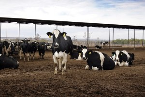 A Texas town welcomes dairies; a New Mexico activist fights them