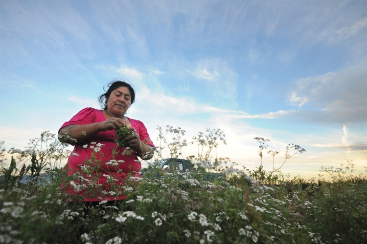 Nelida Martinez wraps a rubber band around cilantro she's harvested. Martinez, along with her daughter, Lizette Flores, and other family members, is part of the Viva Farms co-op in Skagit Valley.
