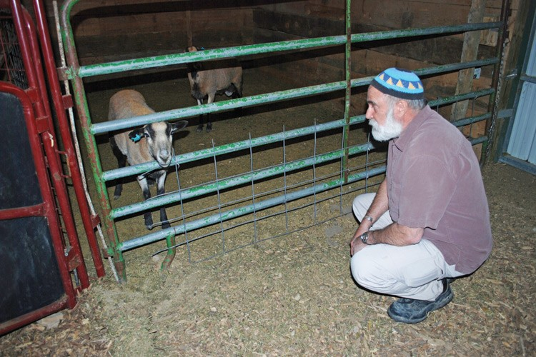 Rabbi Hersh Saunders mentally prepares for the ritual slaughter of a lamb. The barn is quiet, providing a calm setting for the animal.