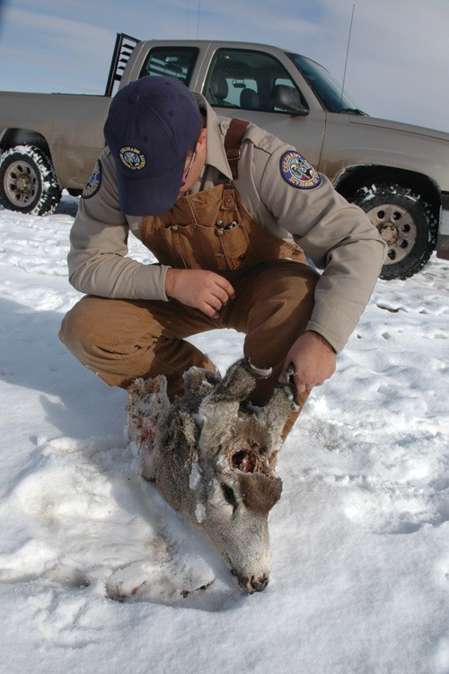 Brad Banulis, terrestrial biologist in Montrose, Colorado, examines the head of a deer that was poached in the fall of 2005 on the Uncompahgre Plateau. The antlers were cut from the animal and the carcass left to rot.