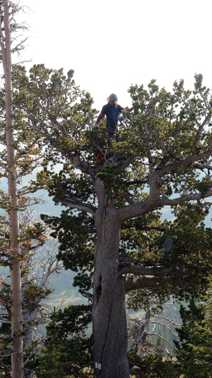 A climber collects cones from a whitebark pine in Montana's Bridger Range.