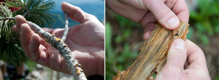 The whitebark pine's two biggest threats are blister rust, at left, a disease spread by an invasive fungus, and the pine beetle, right. Together, they have killed hundreds of thousands of whitebark pines, threatening to wipe out the species.