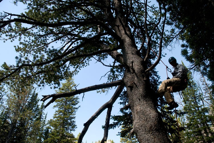Nancy Bockino rappels from a large whitebark pine near Surprise Lake in Grand Teton National Park. Bockino is part of a team studying the trees and collecting t
