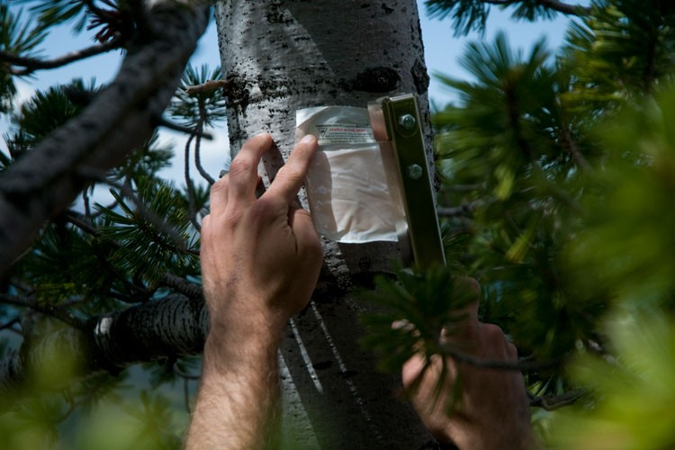 A volunteer staples a package of verbenone to a whitebark pine. The chemical helps control pine beetles, but the effect lasts only one summer.