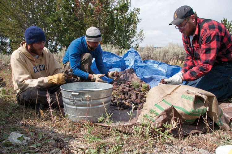 From left, Chris Collie and Dave de Roulac, contract climbers, help seasonal Forest Service employee Kale Newkirk clean whitebark pinecones in Wyoming's Shoshone National Forest in September. Twenty bushels of whitebark cones were harvested from the Shoshone National Forest this summer.