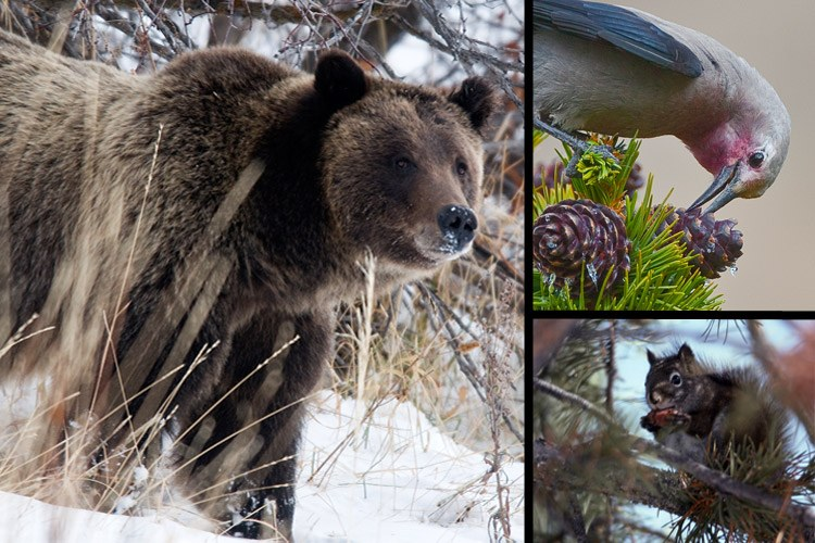 Animals that feed on whitebark pine seeds include the grizzly bear, the pine squirrel and the Clark's nutcracker.