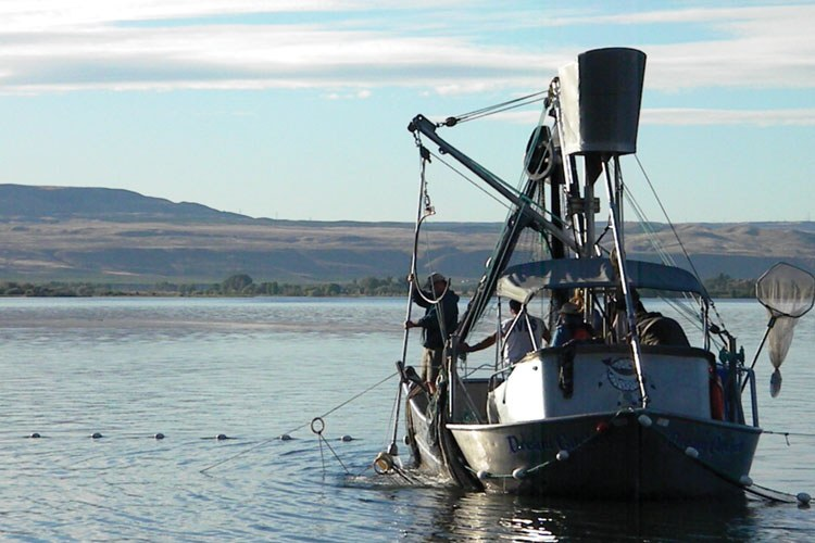 A Colville Tribes selective harvest crew aboard the Dream Catcher uses a purse seine to capture and harvest hatchery-born summer chinook and sockeye. The method allows them to release natural origin or wild Chinook, theoretically without harm.