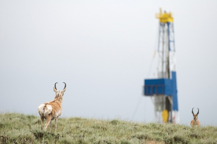 "Two bucks face off in the Pinedale Anticline gas field. Pronghorn wander among some of the drilling activity, but avoid the areas with densest development. ""We don't really know what the tipping point is,"" Riis says of energy development compromising the animals' winter range."