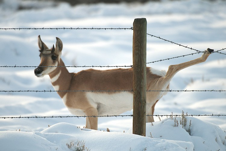 "Pronghorn have thin stilt-like legs built for running rather than jumping. ""This fence has five strands, but the bottom one is buried in snow, so this doe had to jump, and she got her wrist caught in the wire,"" says photographer Joe Riis. ""I pulled the wire apart, but most pronghorn that get caught like this don't make it."""