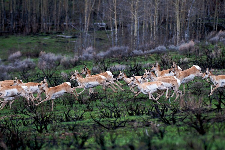 Photographer Joe Riis and writer Emilene Ostlind spent four seasons trying to document the pronghorn migration to and from Grand Teton National Park. Here, one of Riis' first photos shows a group of pronghorn running through burned sagebrush on their way to the park.