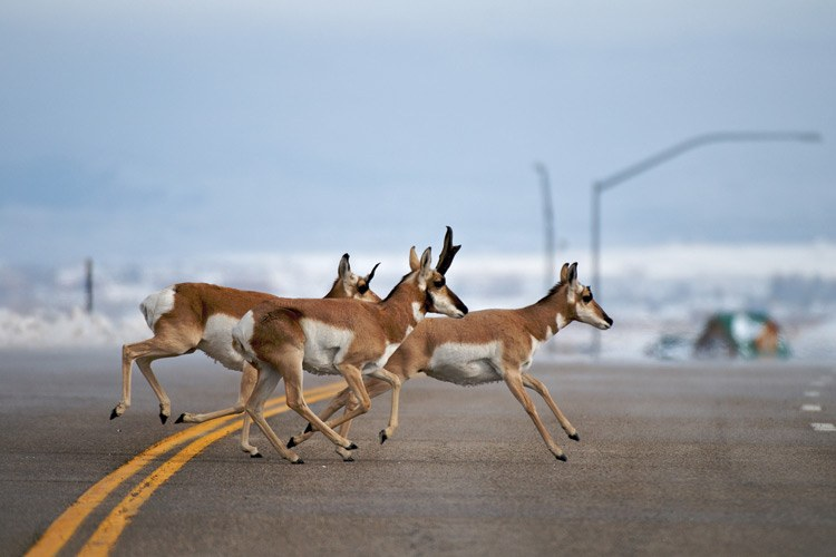 "Each spring and fall, thousands of pronghorn cross the highway at Trappers Point six miles west of Pinedale, Wyo. Two rivers and the subdivision in the background of this photo pinch the migration corridor to just a half-mile in width. The Wyoming Department of Transportation funded a wildlife overpass at this intersection. Riis remembers hearing hooves tap the asphalt as he took this photo. ""Next fall, they won't be doing this,"" he says. When the overpass construction is complete, cars will drive through a tunnel while the pronghorn run safely over a wide bridge covered with grass."