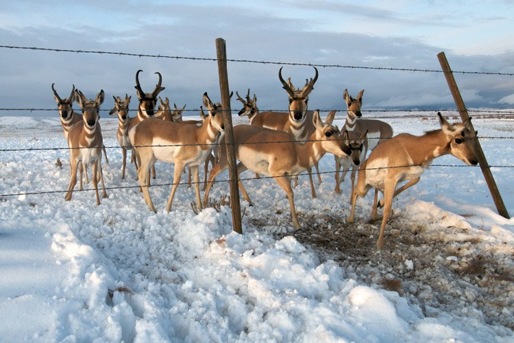 "The little buck at the right of this photo ""probably hadn't crossed many fences before,"" says Riis. ""This was its first fall migration."" This wildlife-friendly fence near Trappers Point has a smooth bottom wire high enough above the ground for pronghorn to slip underneath, b"