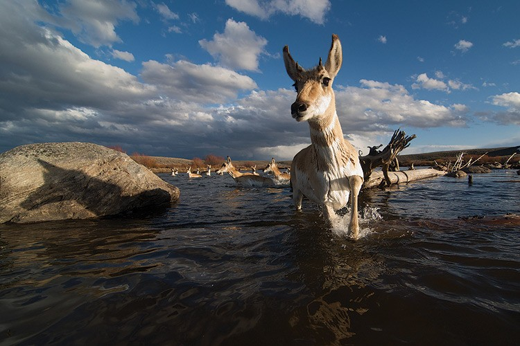 """All of my field work was for this one picture,"" says wildlife photographer Joe Riis, who set remote cameras along the Green River for over a month before he got this shot."