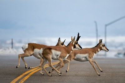 Pronghorn Passage:  Tracking the antelope migration in western Wyoming