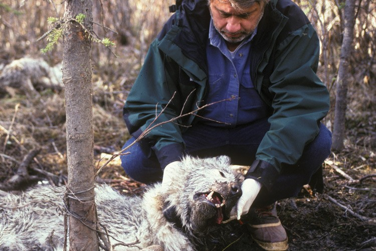 Biologist Gordon Haber with a wolf killed in a snare. Haber studied wolves in Denali and argued that they are better at managing wildlife populations than people are.