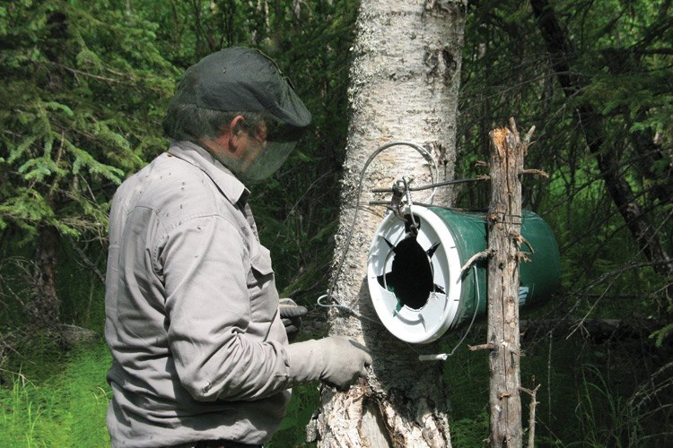 Setting a bear snare.