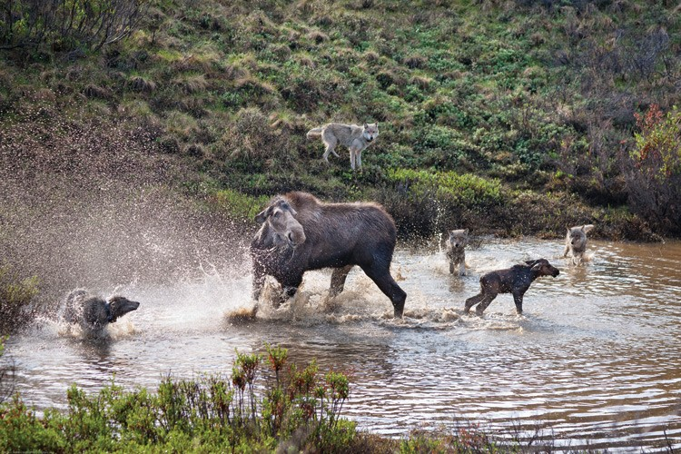 Members of the Grant Creek wolf pack close in on a moose and her newborn calf in Denali National Park. In the end, the wolves got the baby moose.