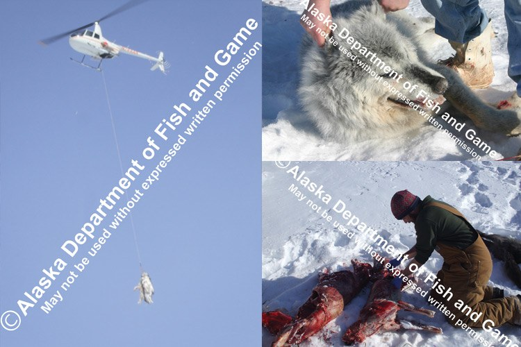 Groups against aggressive predator control have used advertising, lawsuits and public-records searches -- turning up photos like these showing wolf-control efforts -- to sway public opinion. Photos show dead wolves slung from a helicopter and other fresh kills being handled on the ground.