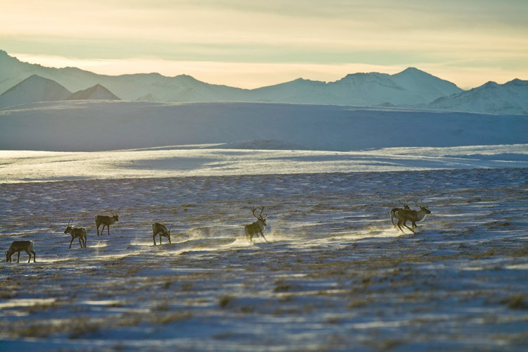 Caribou on the Arctic tundra with the Endicott Mountains of the Brooks Range in the background.