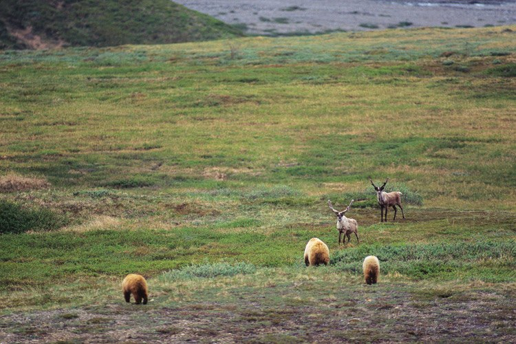 A grizzly bear sow and cubs approach caribou in Denali National Park .