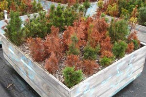 Forestry + genetics = a blister rust solution?