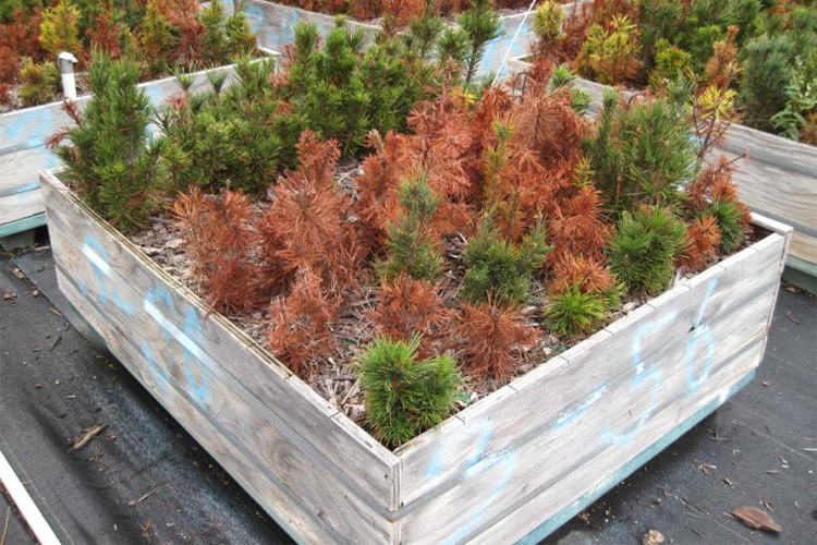 Forestry + genetics = a blister rust solution? — High