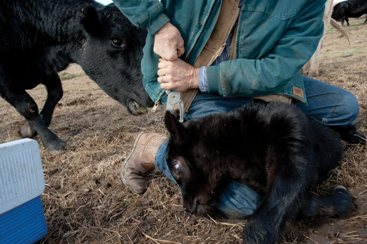 A newborn calf gets an ear tag (while its mother objects).