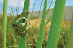 Pacific chorus frogs make urban comeback